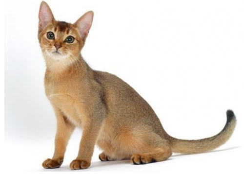 Ketahui-Berbagai-Macam-Ras-Kucing