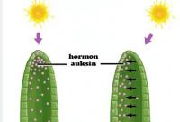 Hormon-pada-tumbuhan-Pengertian,-Jenis,-Fungsi-dan-Sifat