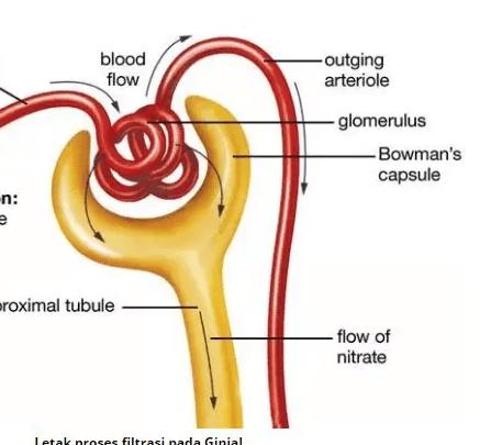 Proses-pembentukan-urin-ginjal-dan-bagiannya-filter