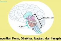 pengertian-pons